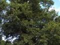 Ashburton peace oak