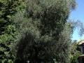 Deans Bush memorial olive tree