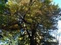 Geraldine Domain memorial oak