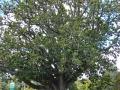 Hattaway Memorial Oak