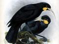 Buller's birds