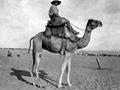 New Zealand camelier