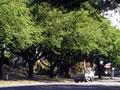 North Otago memorial oaks