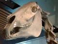The story of Phar Lap's skeleton