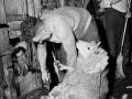 Godfrey Bowen sets world sheep-shearing record