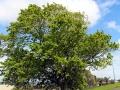 Reginald Judson memorial oak