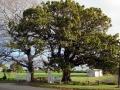 Karaka- Te Hihi peace trees