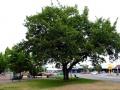 Methven peace tree