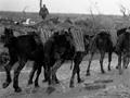 Mule convoy carrying ammunition at Passchendaele