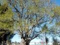 Papakura peace oak