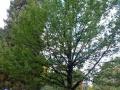 Queenstown memorial oak