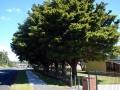 Waiuku school memorial trees